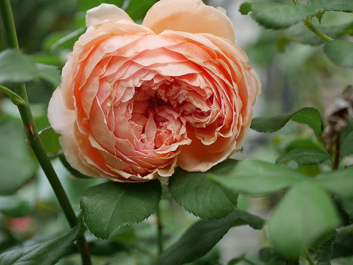 真宙(Masora)の秋花がまた咲いた。半ツルバラ。2020年-012.jpg