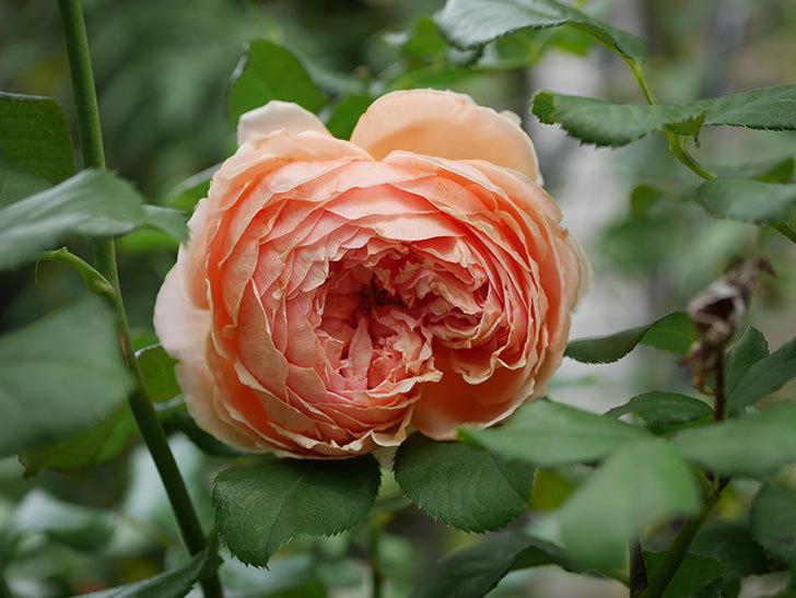真宙(Masora)の秋花がまた咲いた。半ツルバラ。2020年-013.jpg