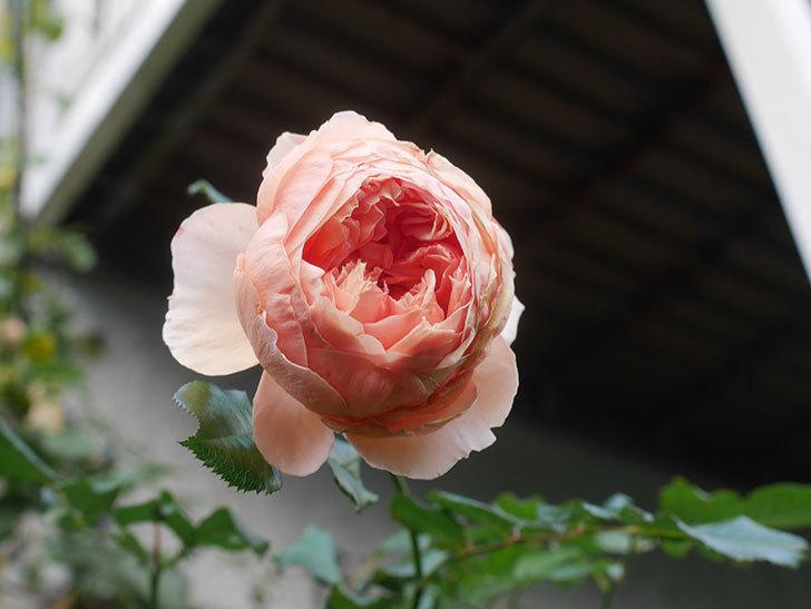 真宙(Masora)の秋花がまた咲いた。半ツルバラ。2020年-014.jpg