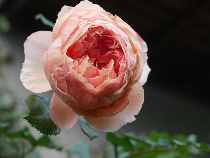 真宙(Masora)の秋花がまた咲いた。半ツルバラ。2020年-015.jpg