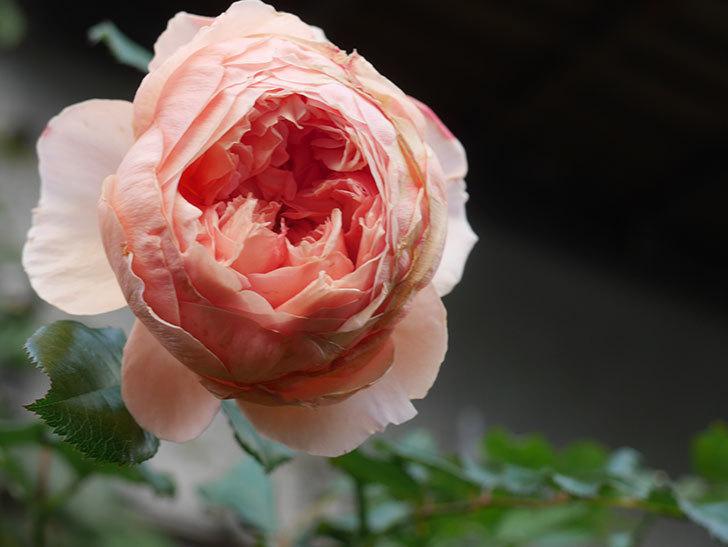 真宙(Masora)の秋花がまた咲いた。半ツルバラ。2020年-017.jpg