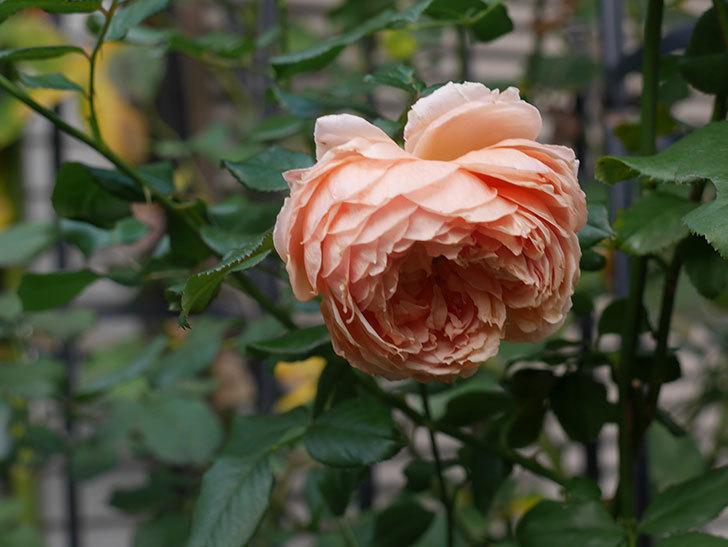 真宙(Masora)の秋花がまた咲いた。半ツルバラ。2020年-018.jpg