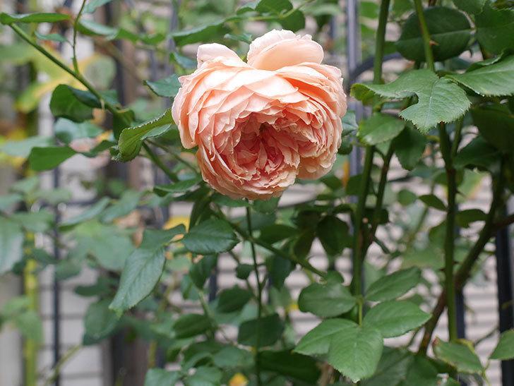 真宙(Masora)の秋花がまた咲いた。半ツルバラ。2020年-019.jpg