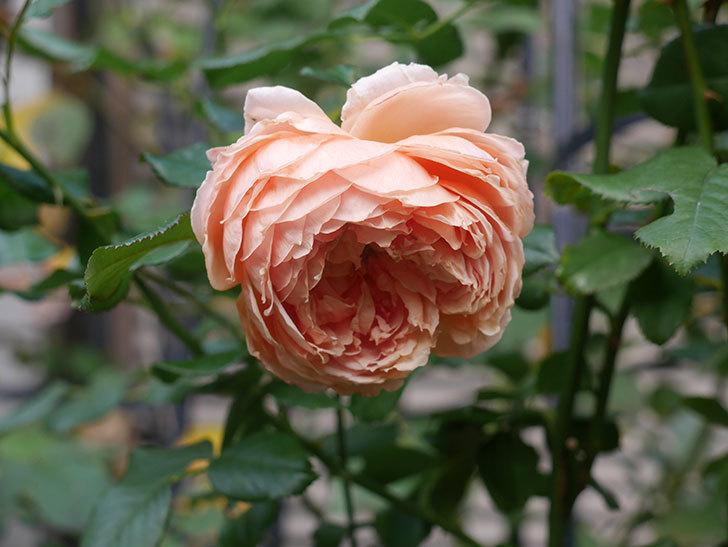 真宙(Masora)の秋花がまた咲いた。半ツルバラ。2020年-020.jpg