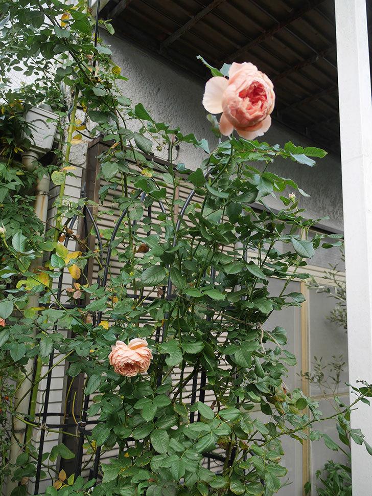 真宙(Masora)の秋花がまた咲いた。半ツルバラ。2020年-021.jpg