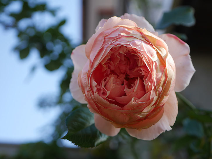 真宙(Masora)の秋花がまた咲いた。半ツルバラ。2020年-022.jpg