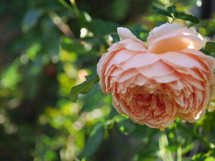 真宙(Masora)の秋花がまた咲いた。半ツルバラ。2020年-024.jpg
