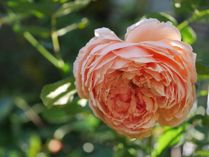 真宙(Masora)の秋花がまた咲いた。半ツルバラ。2020年-025.jpg