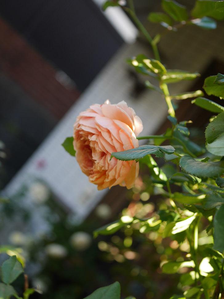 真宙(Masora)の秋花がまた咲いた。半ツルバラ。2020年-026.jpg