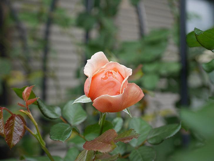 真宙(Masora)の秋花が咲いた。半ツルバラ。2020年-001.jpg
