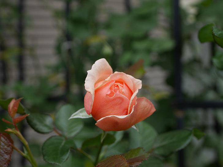 真宙(Masora)の秋花が咲いた。半ツルバラ。2020年-002.jpg