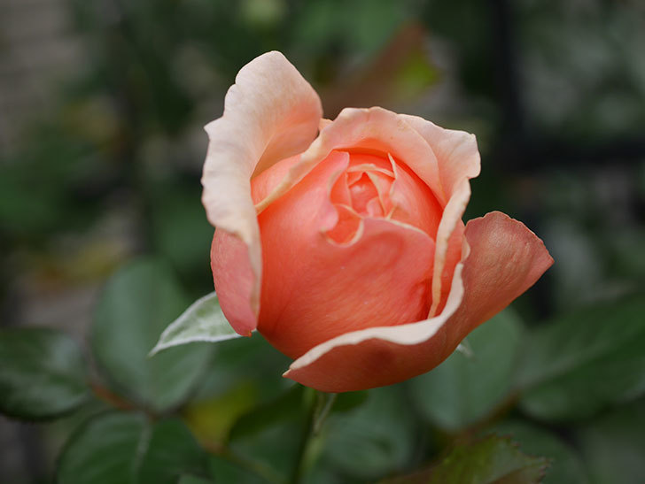 真宙(Masora)の秋花が咲いた。半ツルバラ。2020年-003.jpg
