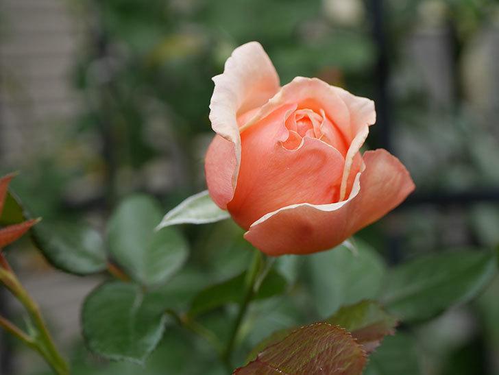 真宙(Masora)の秋花が咲いた。半ツルバラ。2020年-004.jpg