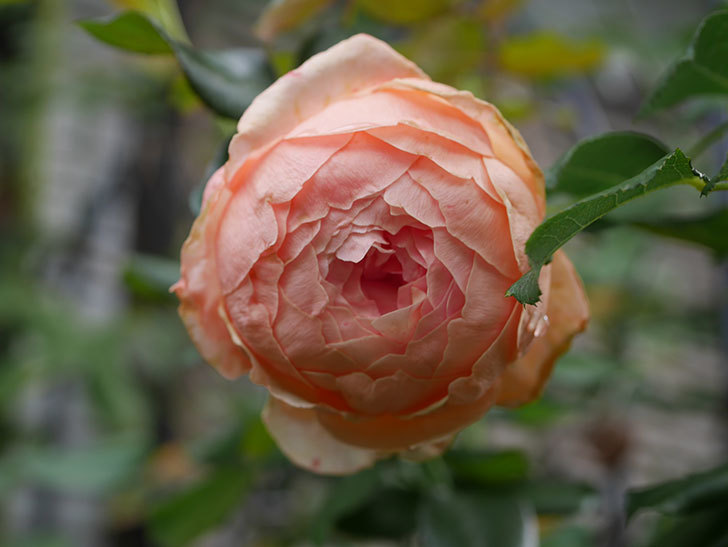 真宙(Masora)の秋花が咲いた。半ツルバラ。2020年-006.jpg