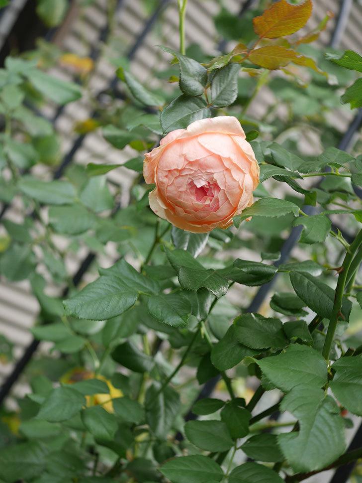真宙(Masora)の秋花が咲いた。半ツルバラ。2020年-012.jpg