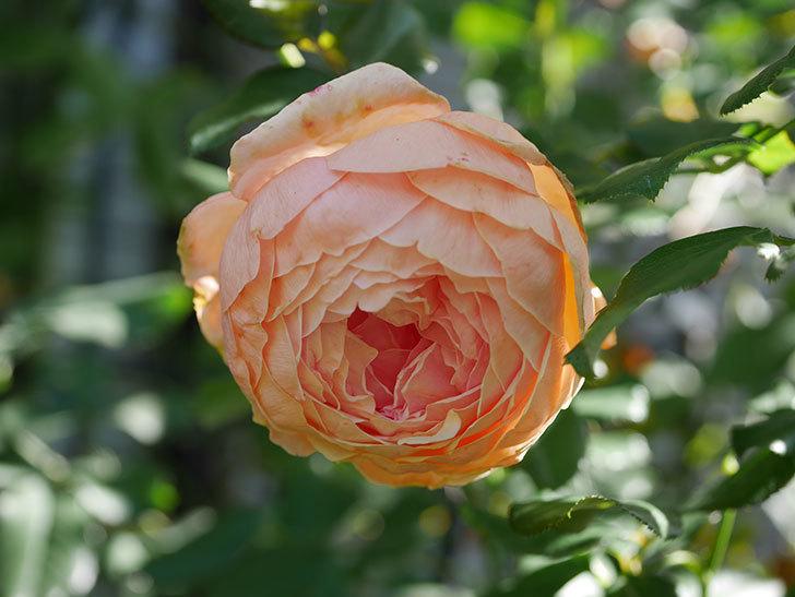 真宙(Masora)の秋花が咲いた。半ツルバラ。2020年-014.jpg