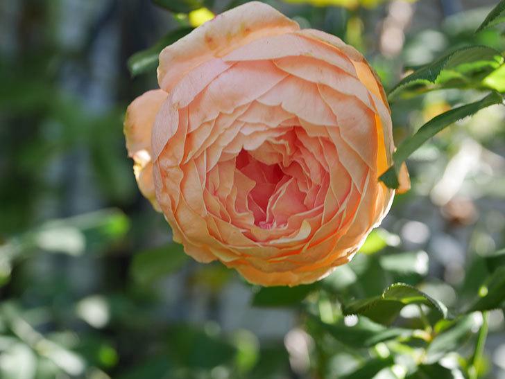 真宙(Masora)の秋花が咲いた。半ツルバラ。2020年-015.jpg