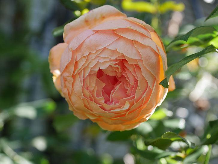 真宙(Masora)の秋花が咲いた。半ツルバラ。2020年-016.jpg