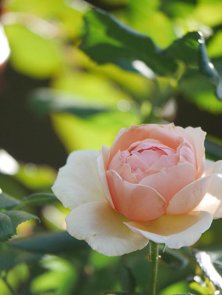 真宙(Masora)の秋花が咲いた。半ツルバラ。2021年-008.jpg