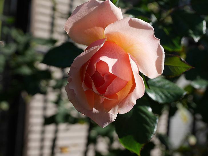 真宙(Masora)の秋花が綺麗に咲いた。半ツルバラ。2020年-001.jpg