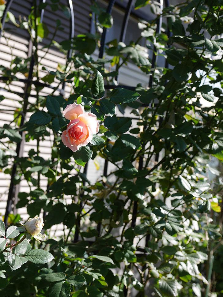真宙(Masora)の秋花が綺麗に咲いた。半ツルバラ。2020年-003.jpg