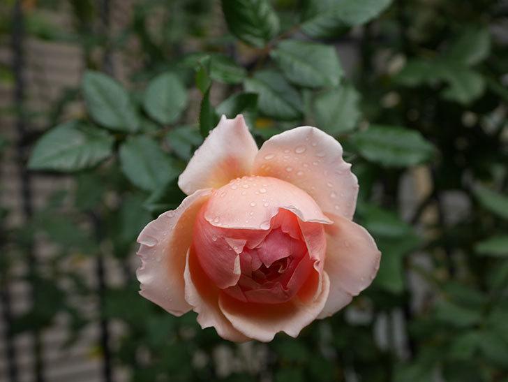 真宙(Masora)の秋花が綺麗に咲いた。半ツルバラ。2020年-007.jpg