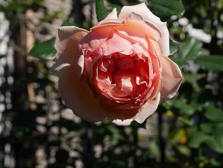 真宙(Masora)の秋花が綺麗に咲いた。半ツルバラ。2020年-010.jpg