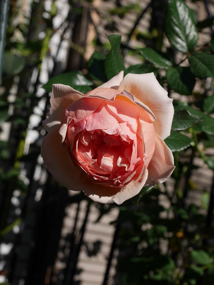 真宙(Masora)の秋花が綺麗に咲いた。半ツルバラ。2020年-012.jpg
