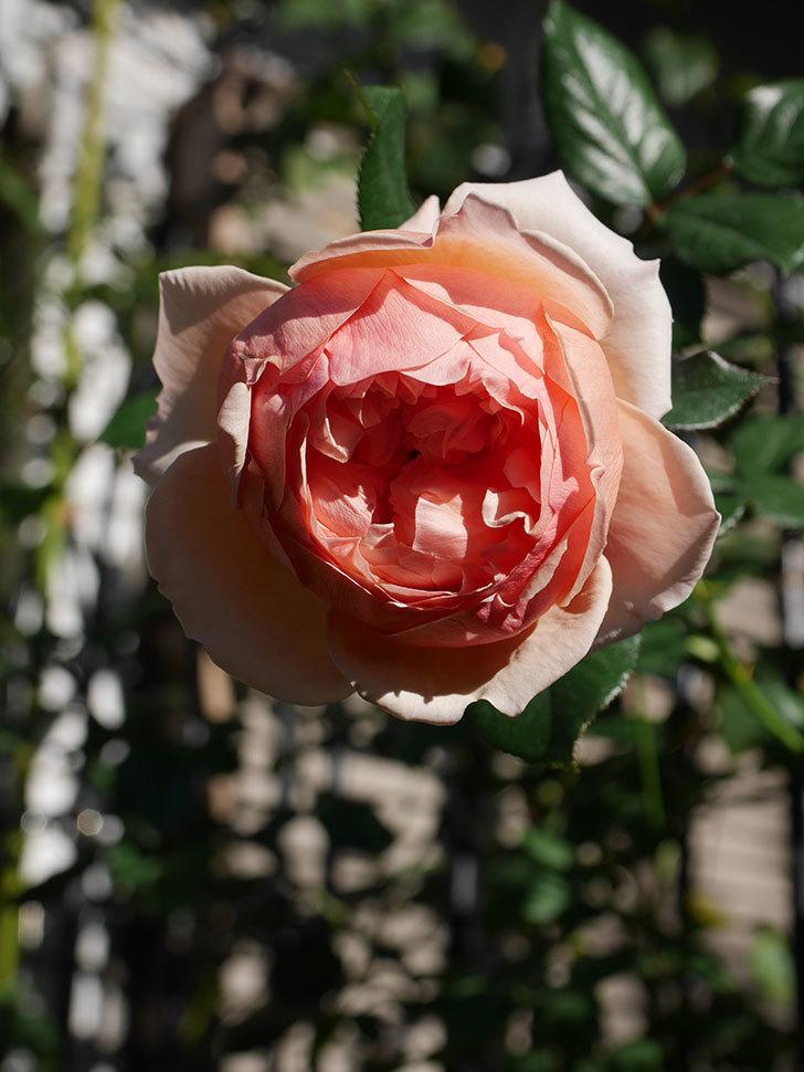 真宙(Masora)の秋花が綺麗に咲いた。半ツルバラ。2020年-013.jpg