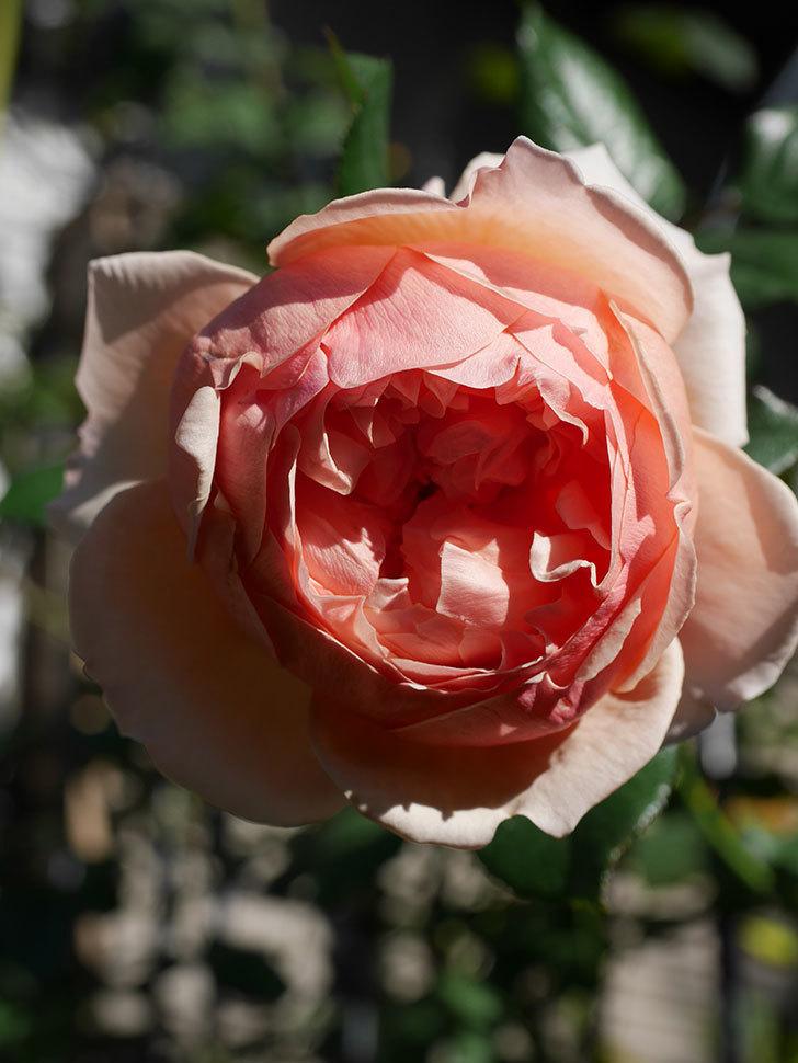 真宙(Masora)の秋花が綺麗に咲いた。半ツルバラ。2020年-014.jpg