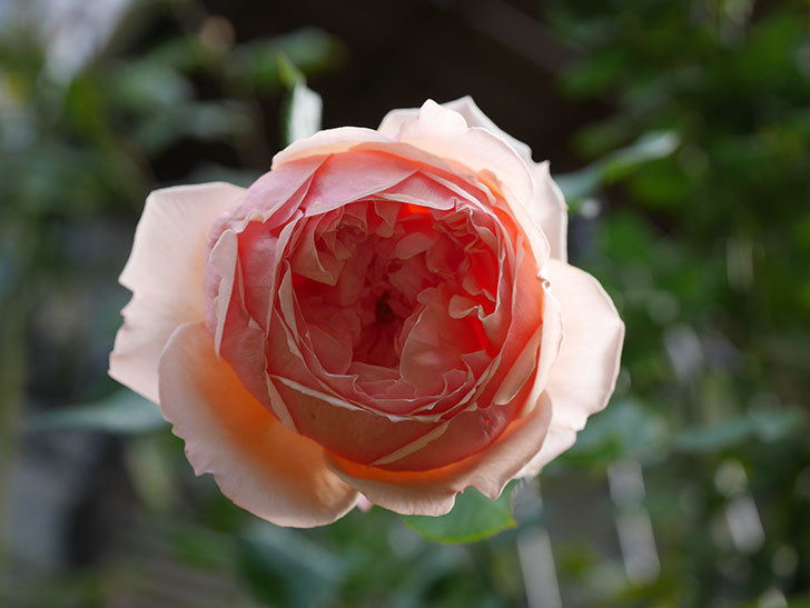 真宙(Masora)の秋花が綺麗に咲いた。半ツルバラ。2020年-015.jpg