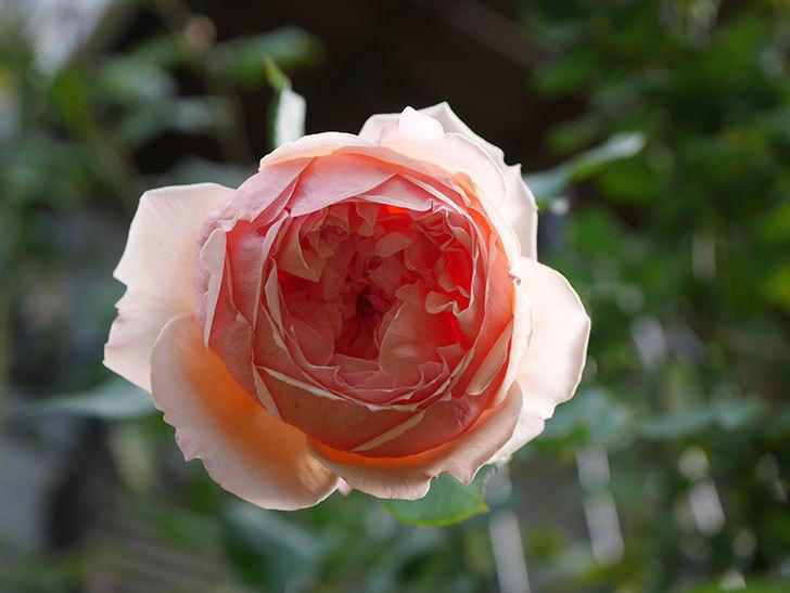 真宙(Masora)の秋花が綺麗に咲いた。半ツルバラ。2020年-016.jpg