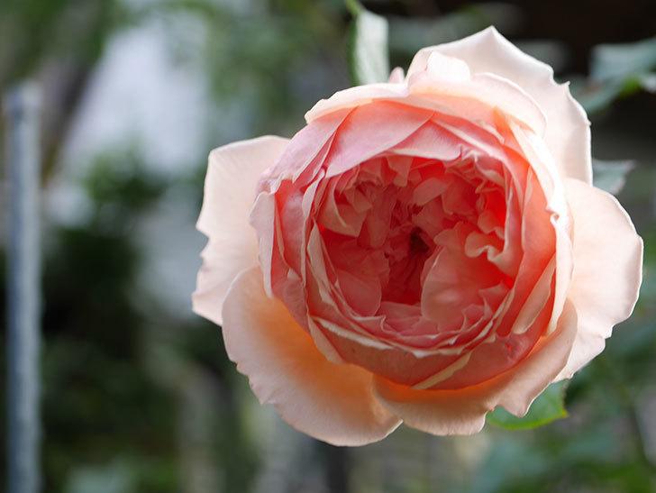 真宙(Masora)の秋花が綺麗に咲いた。半ツルバラ。2020年-018.jpg