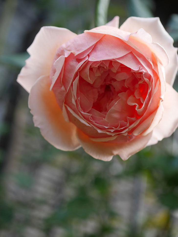 真宙(Masora)の秋花が綺麗に咲いた。半ツルバラ。2020年-019.jpg