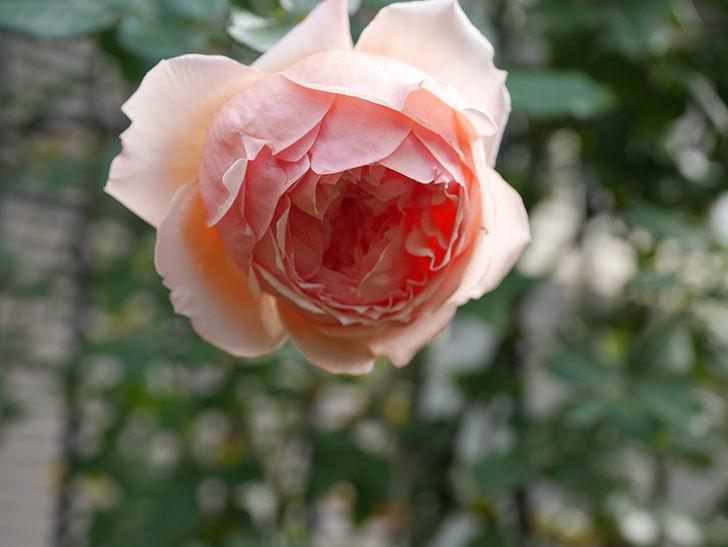 真宙(Masora)の秋花が綺麗に咲いた。半ツルバラ。2020年-020.jpg
