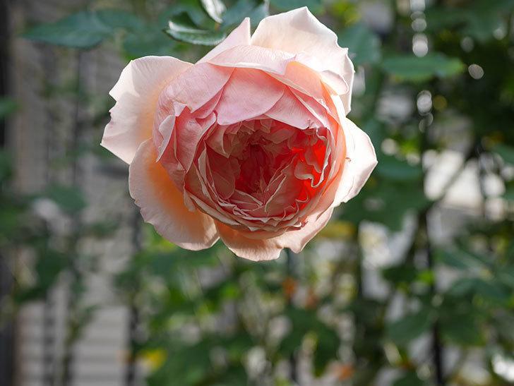真宙(Masora)の秋花が綺麗に咲いた。半ツルバラ。2020年-024.jpg