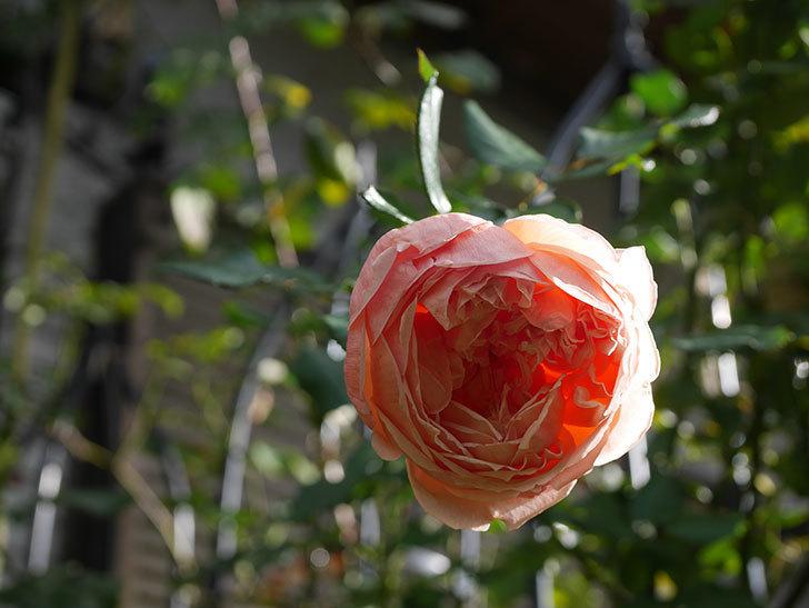 真宙(Masora)の秋花が綺麗に咲いた。半ツルバラ。2020年-026.jpg