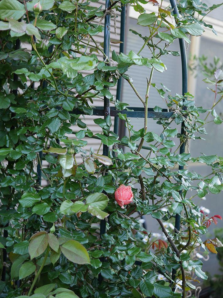 真宙(Masora)の花が咲いた。半ツルバラ。2021年-001.jpg