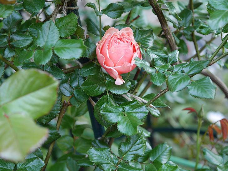 真宙(Masora)の花が咲いた。半ツルバラ。2021年-002.jpg