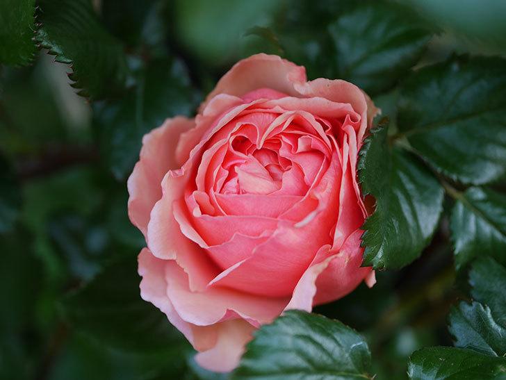 真宙(Masora)の花が咲いた。半ツルバラ。2021年-003.jpg
