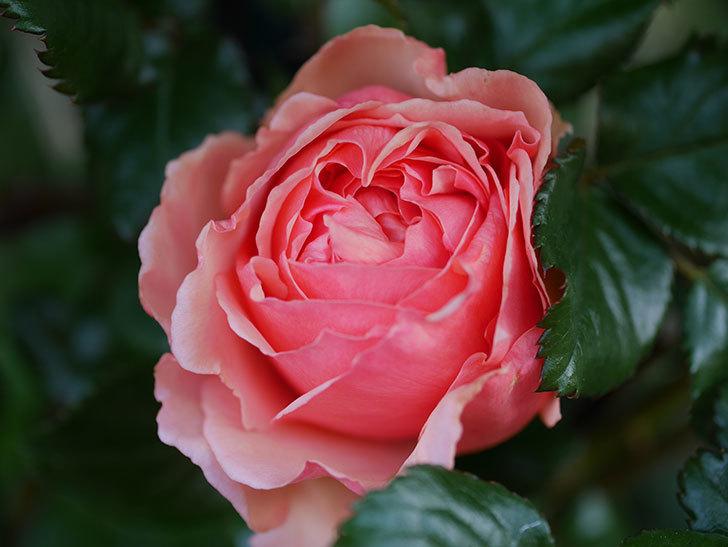真宙(Masora)の花が咲いた。半ツルバラ。2021年-004.jpg