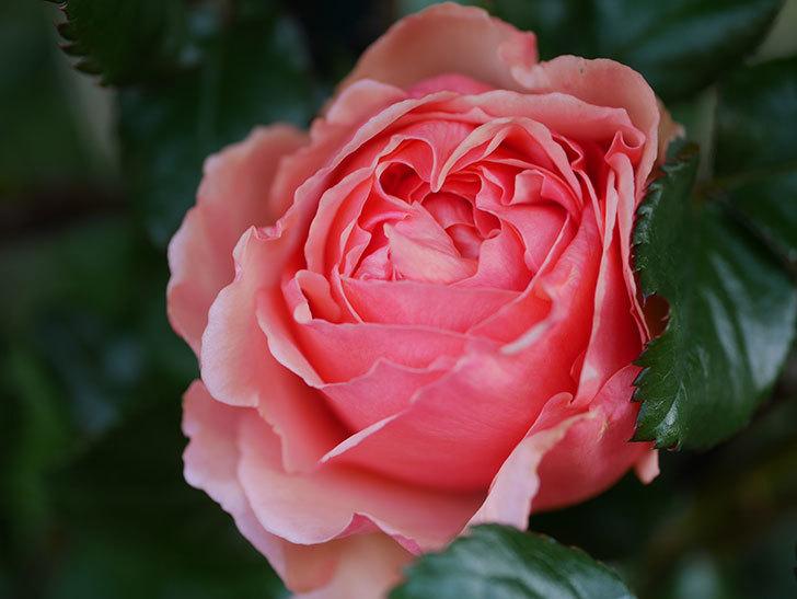 真宙(Masora)の花が咲いた。半ツルバラ。2021年-005.jpg