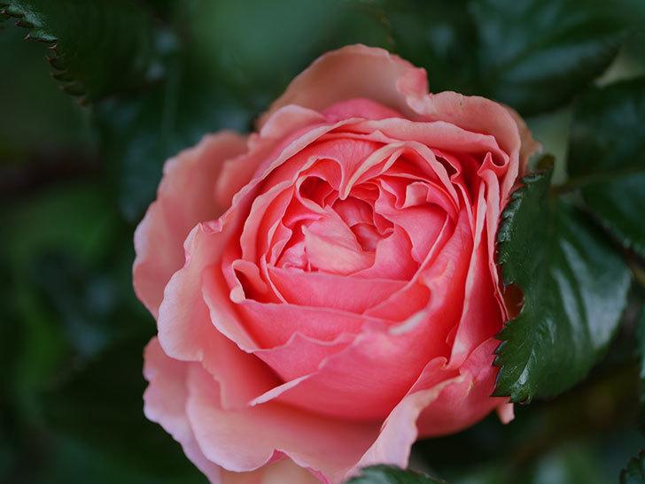 真宙(Masora)の花が咲いた。半ツルバラ。2021年-006.jpg