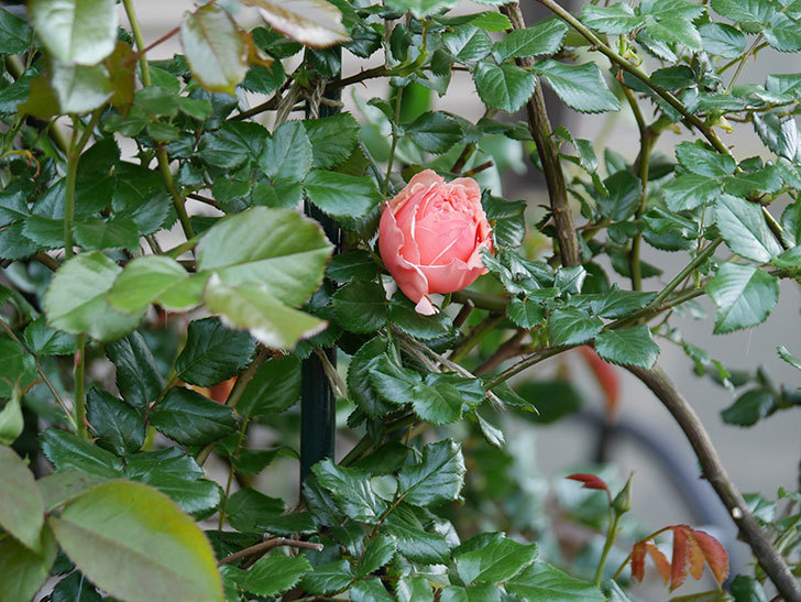 真宙(Masora)の花が咲いた。半ツルバラ。2021年-009.jpg