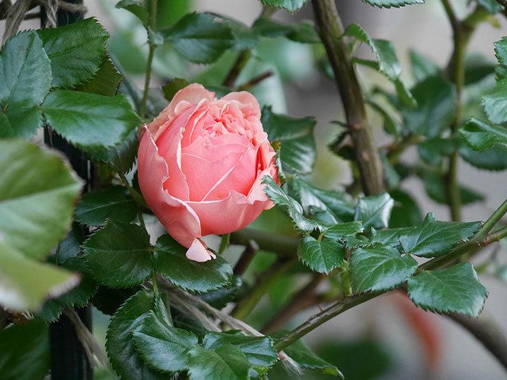真宙(Masora)の花が咲いた。半ツルバラ。2021年-010.jpg