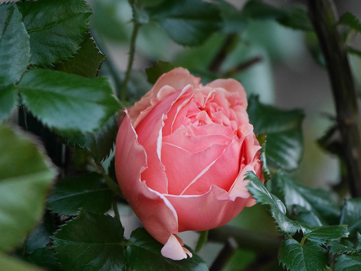 真宙(Masora)の花が咲いた。半ツルバラ。2021年-011.jpg