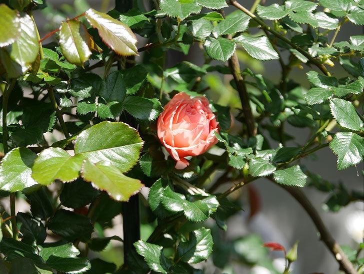 真宙(Masora)の花が咲いた。半ツルバラ。2021年-013.jpg