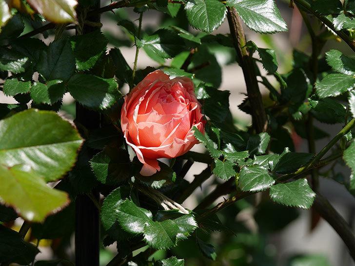 真宙(Masora)の花が咲いた。半ツルバラ。2021年-014.jpg