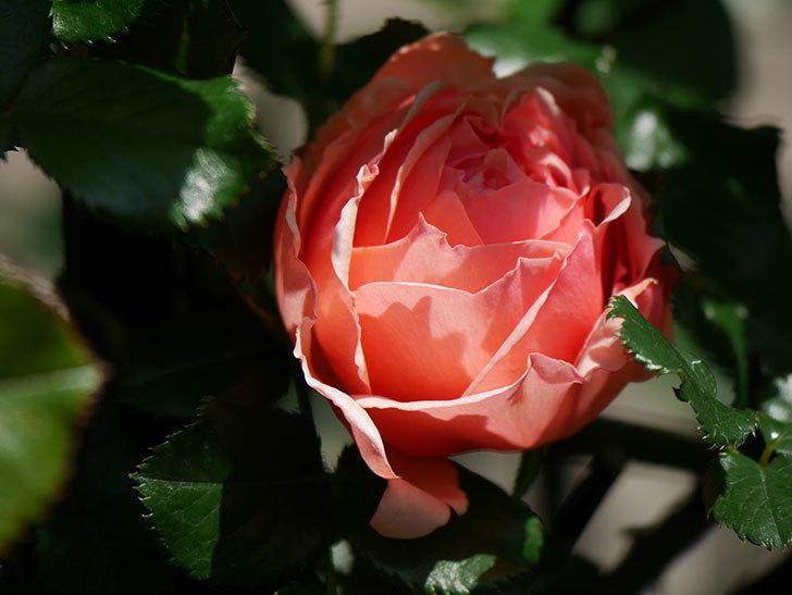 真宙(Masora)の花が咲いた。半ツルバラ。2021年-015.jpg