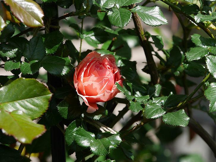 真宙(Masora)の花が咲いた。半ツルバラ。2021年-017.jpg